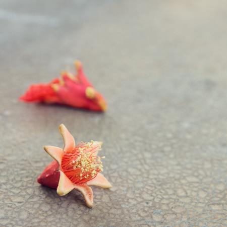Fallen pomegranate blossoms